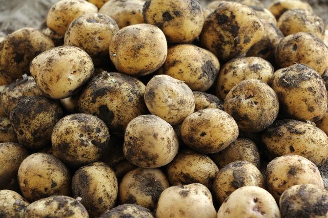 勘弁して!うちの畑のジャガイモを「勝手に収穫」した50代の同級生にウンザリ