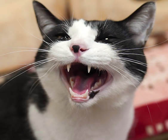 飼い猫に言い渡された余命宣告。治療を決意し、止まらない涙...(前編)/ふうたの飼い主