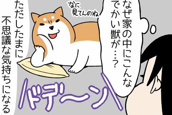 パツンパツンに詰まった身も存在感も...!大きめの柴犬がとにかく好き/宮路ひま