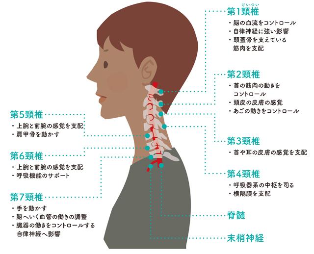 頸椎は全身を整えるための司令塔...