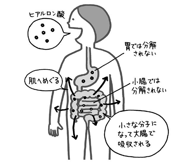 しわの軽減と肌の弾力性を改善! 食べると皮膚に作用するメカニズムが解明された 「ヒアルロン酸」
