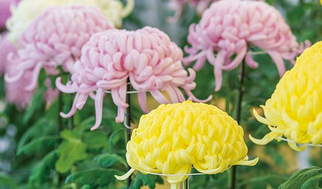 老化防止にも!おひたしなどで色と食感を楽しめる「食用菊」の魅力