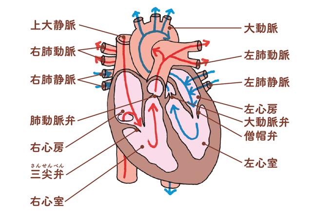 異常が起きたら?イラストで知る「心臓」の基礎知識