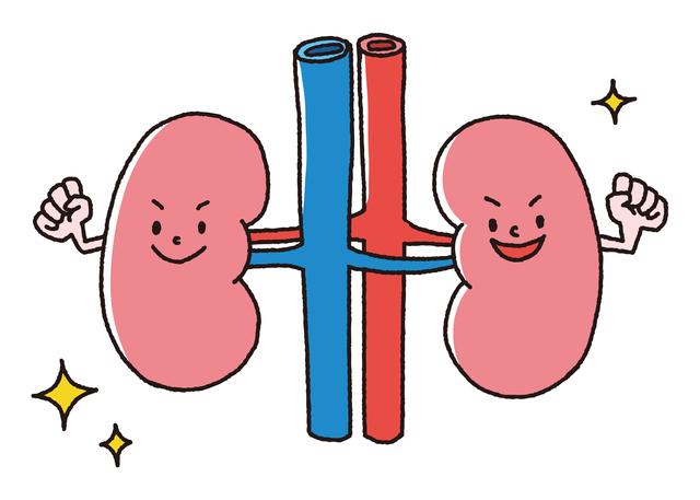 実は「血圧」と深い関係が!「腎臓」の働きをご存じですか?