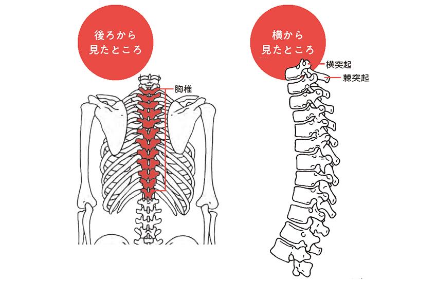 肩こりに悩む人は知っておいて!背骨に「しなやかさ」をもたらす「胸椎」の仕組み
