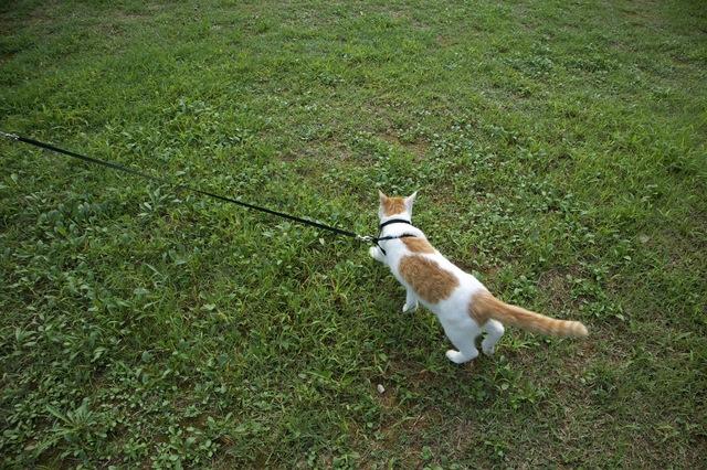 獣医師に聞いてみました。「猫も散歩したほうがいいの?」/家ねこ大全(28)
