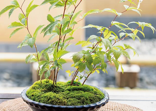初心者でも育てやすい!「草もの盆栽」を作ってみましょう