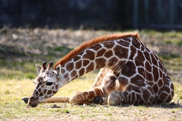 キリンは1日20分!? 肉食動物より草食動物のほうが睡眠時間は短い/地球の雑学