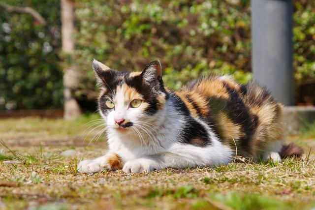 三毛猫のオスがとても珍しいのはなぜか/地球の雑学