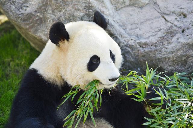パンダの消化器はそもそもタケを食べるのに適していない/地球の雑学