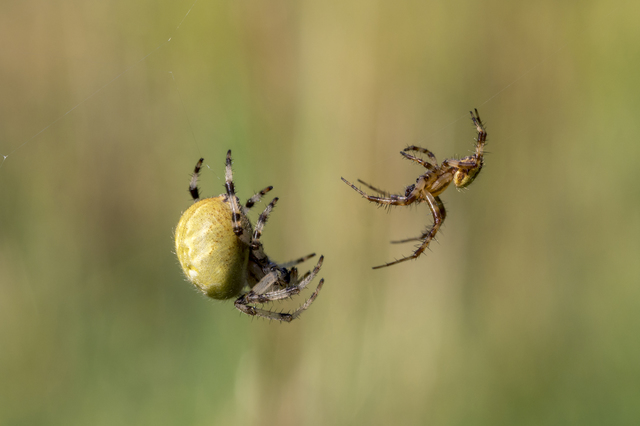 行為後にメスの交尾器を破壊する恐怖のクモ/地球の雑学