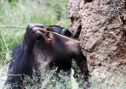 カラスにチンパンジー、魚まで⁉ 道具を使えるのは人間だけではない/身近な科学