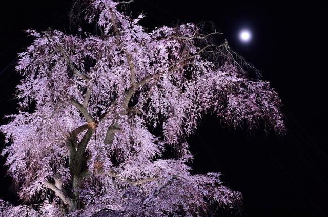 京都の桜守に聞くいのちの物語 「人と同じでそれぞれに個性的。学で解明できない花の営み」