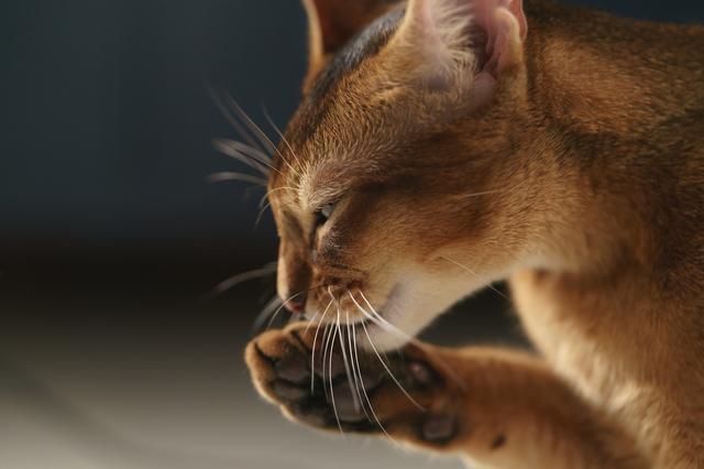 よだれが「ベタベタ」なら要注意!「猫の口内炎」のチェックポイント/家ねこ大全(32)