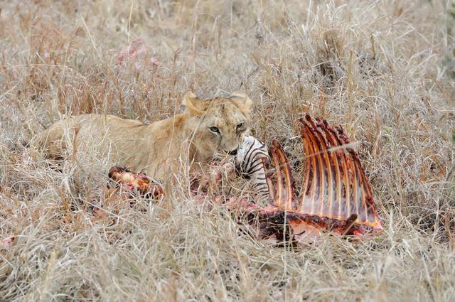 ライオンなどの肉食動物は肉ばかり食べて栄養は偏らないのか/地球の雑学