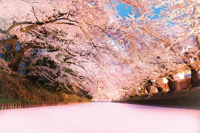 「人にはみんな桜の思い出がある」樹齢100年を超える染井吉野の命をつなぐ弘前公園の桜守・橋場真紀子さんインタビュー