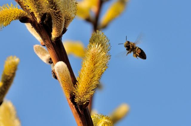 毎秒250回! ハチが高速で羽ばたけるのは筋肉の伸縮のおかげ/身近な科学