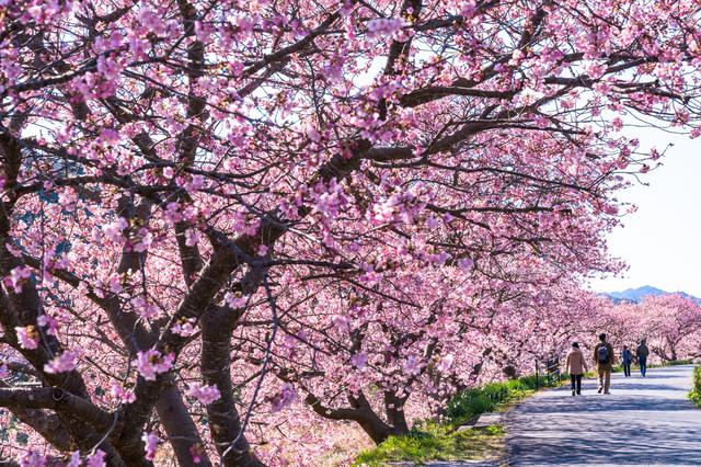 1分間英語でTokyo案内「東京のお花見事情」