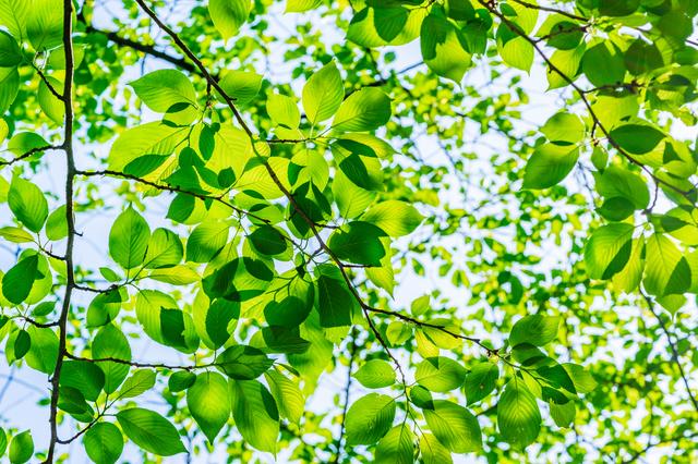新緑の森が美しいのは、植物が「緑色」を嫌っているから/身近な科学