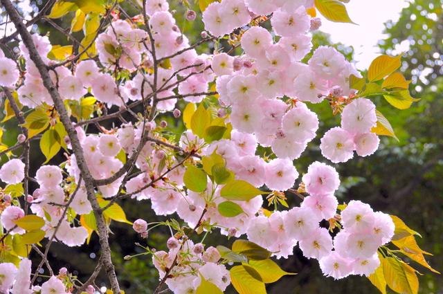「生きるほどに色香を放つ桜。人間と同じ、年を重ねるのは悪くない」京都の桜守に聞くいのちの物語