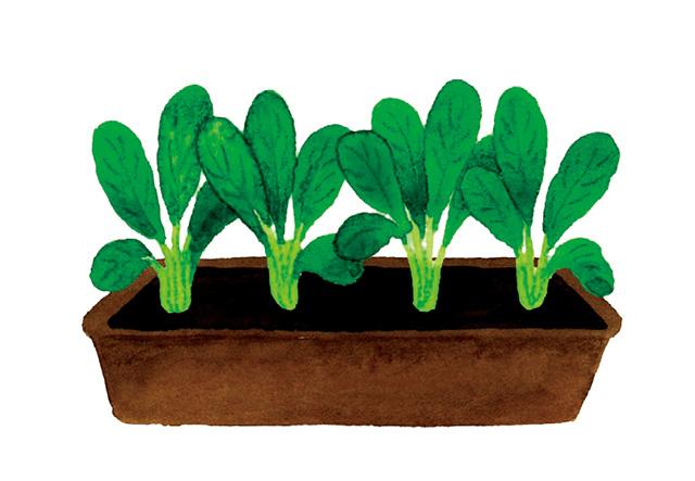 100円ショップでそろえて育てる「小松菜」。寒さに強くて「プランター菜園」に好適!