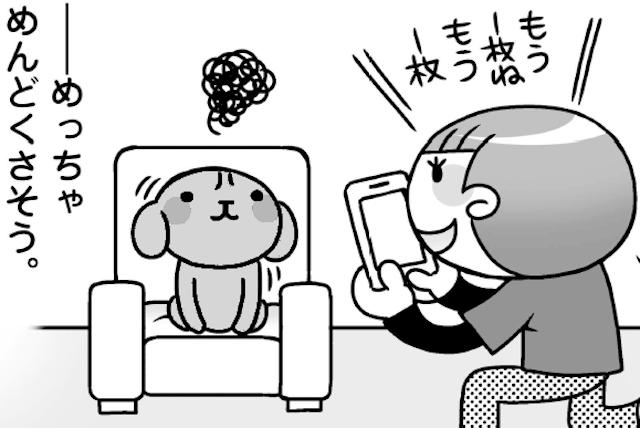 「めんどくさいんじゃ・・・」うちのトイプと写真撮影/犬のおしりにしかれてます。(8)