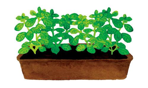 お店で買ったら高い「ルッコラ」や「バジル」も楽々育つ! 100円ショップでそろえて「プランター菜園」